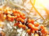 20 Amazing Health Benefits of Eating Organic Sea Buckthorn