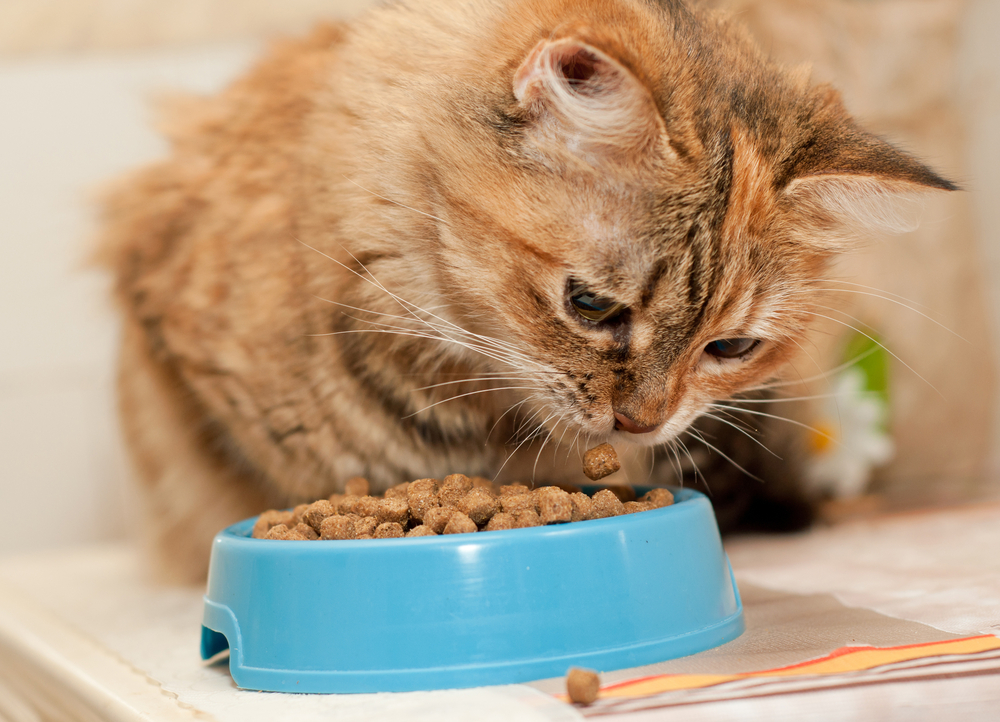 cat-eating-his-treats-from-a-blue-bowl