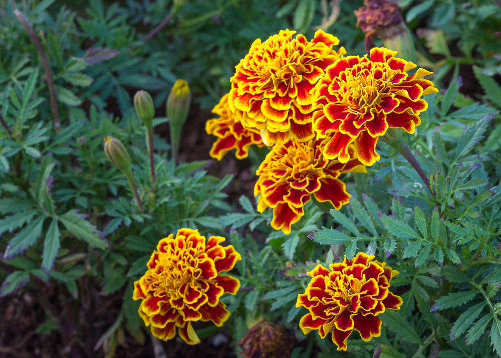 marigold-beautiful-flower