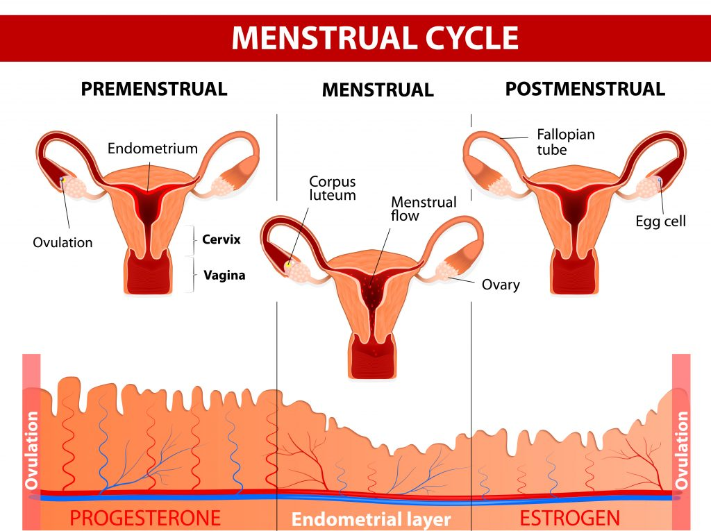 menstrual-cycle-infographic