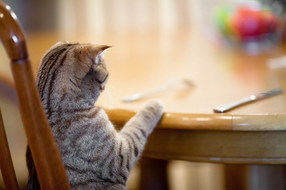 pet-cat-waiting-for-its-meal