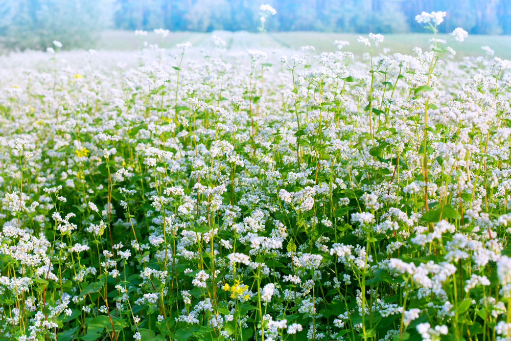 Buckwheat Flower Field