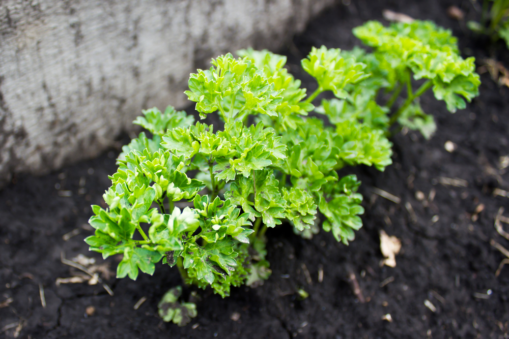 Growing Parsley Herb in a Garden