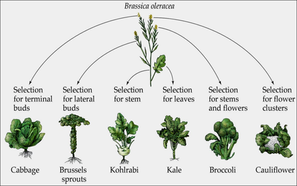 Image of the cruciferous vegetable family