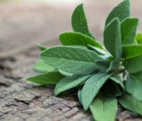 Sage Herb: History, Nutrition Facts, Health Benefits, Side Effects, and Fun Facts