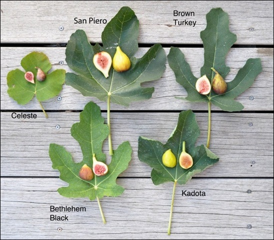 The Different Types of Figs 2