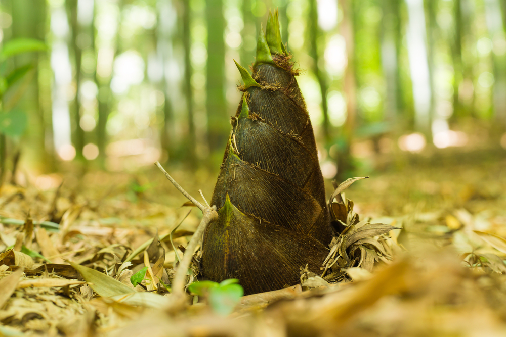 bamboo shoot which grows in the heart of a mountain
