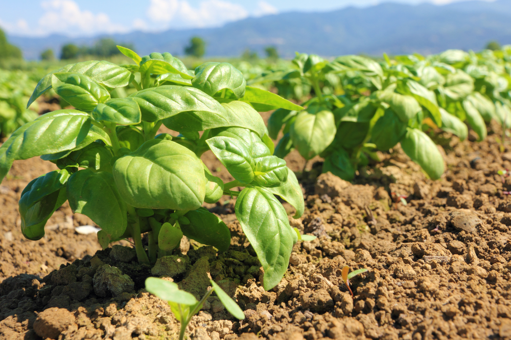 rows of cultivated basil in Liguria Italy