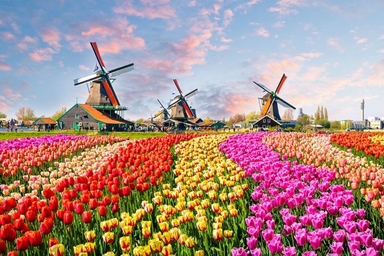Amsterdam Windmills and Beautiful Flowers Field