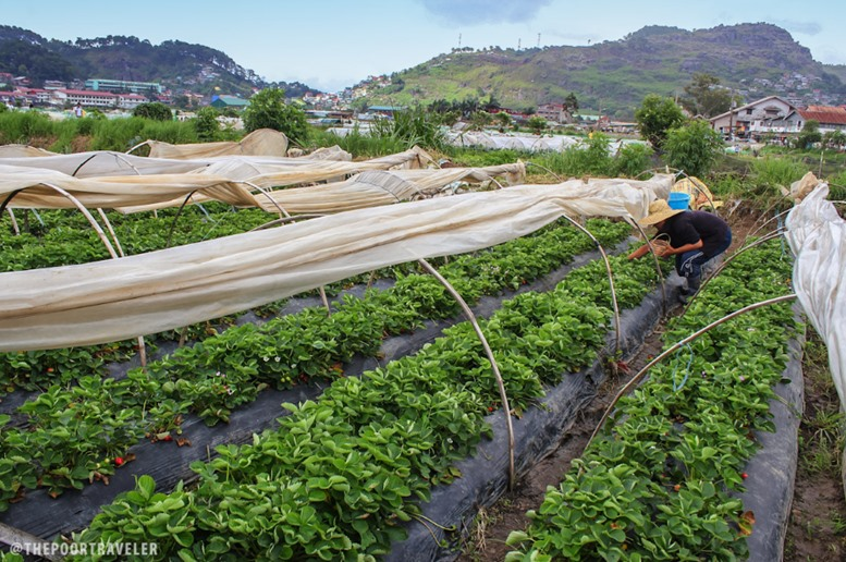 Baguio Strawberry Farm