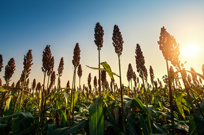 Beautiful Sorghum Field Sunset