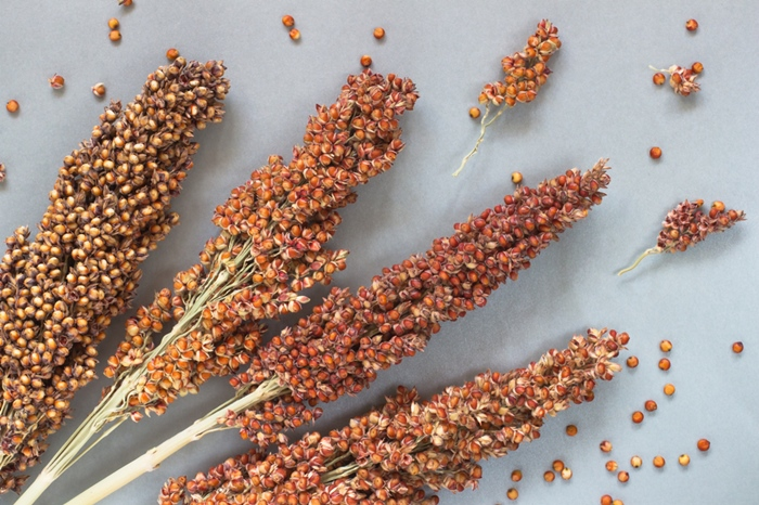Beautiful Sorghum