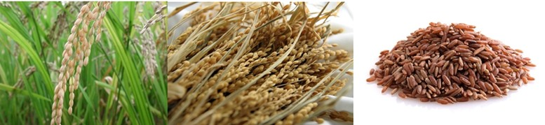 Brown rice plant, grains and kernels with husk removed.