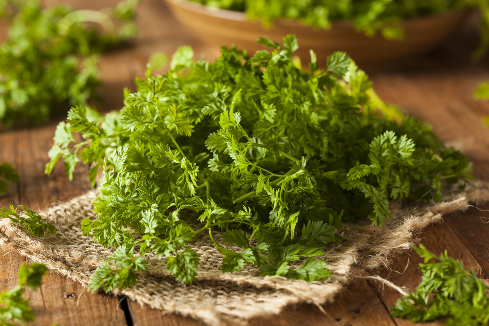 Chervil (French Parsley) Article - Featured Article
