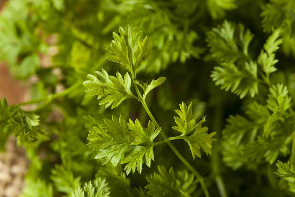 Chervil History Nutrition Facts Health Benefits Side Effects