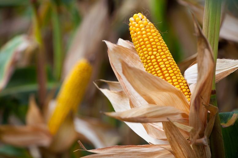 Corn (Maize) article End Image