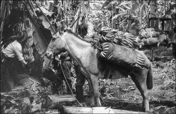 Early transportation of Banana