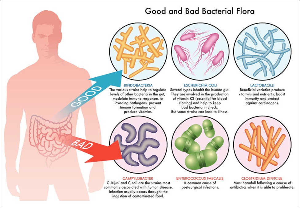 Good and Bad Bacterial Flora Infographic