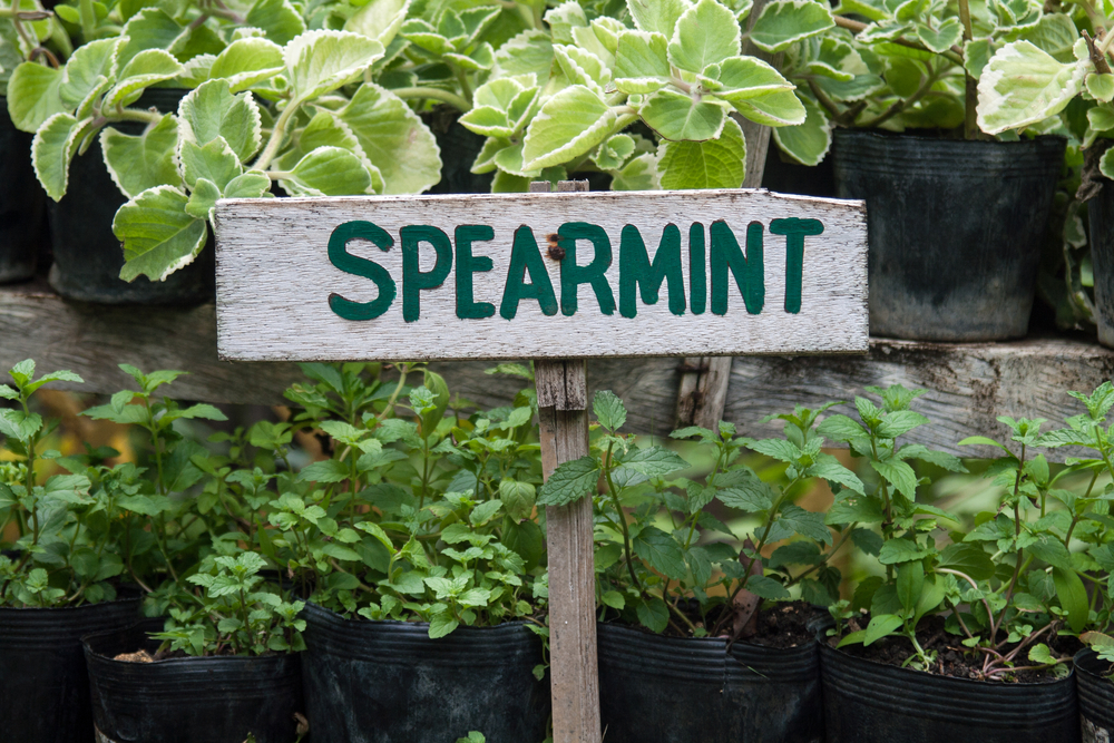Spearmint Sign at Herb Garden