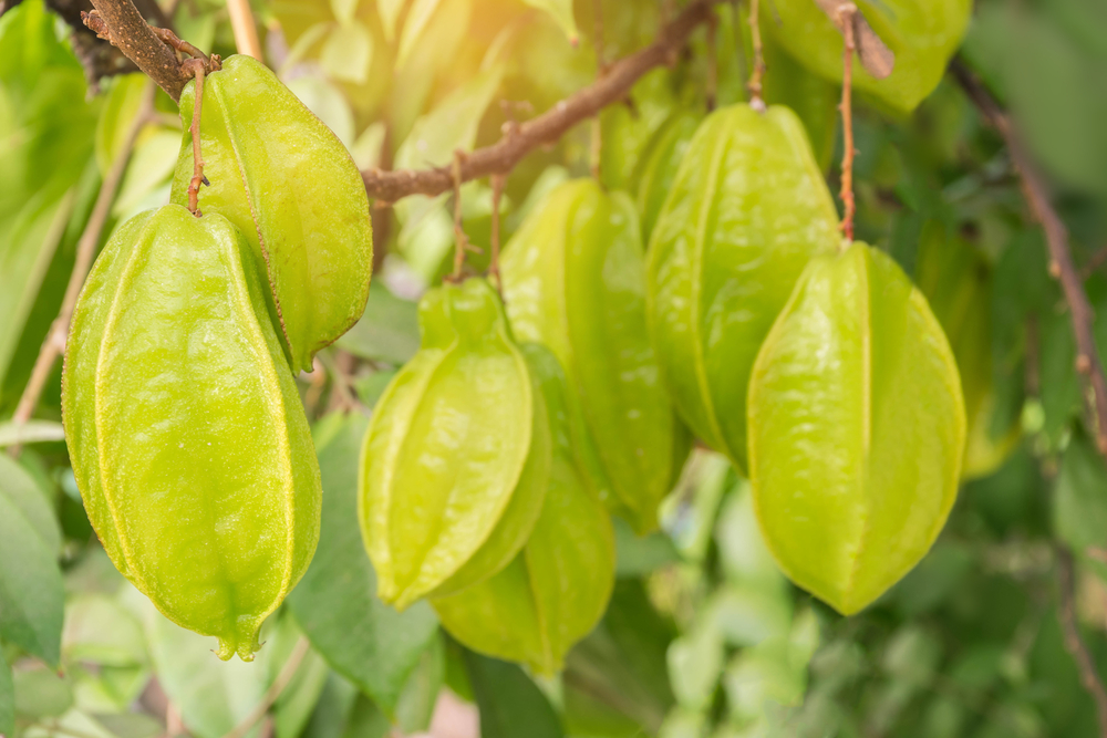 Starfruit Growing on Carambola Tree