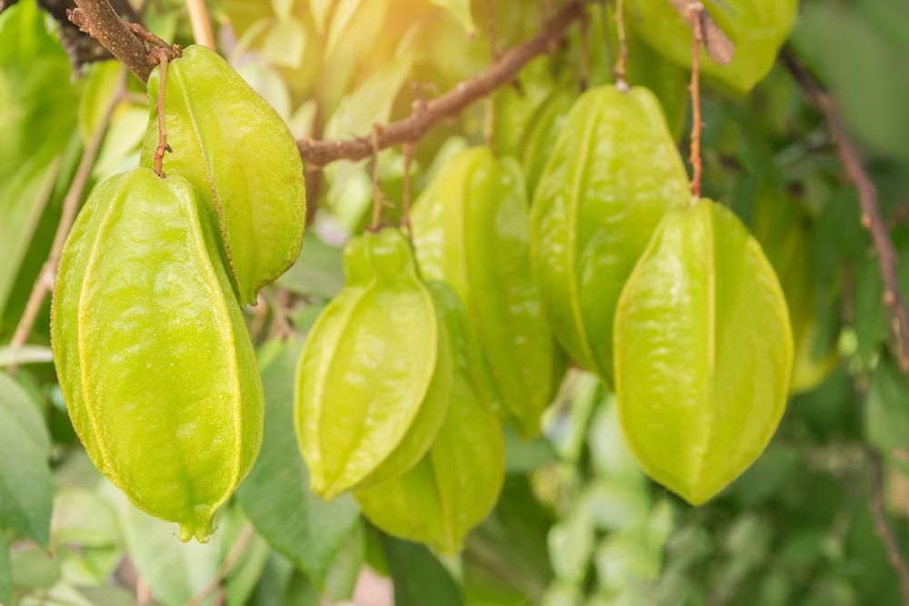 Starfruit Growing on Carambola Tree