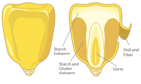 Structure of a corn kernel.