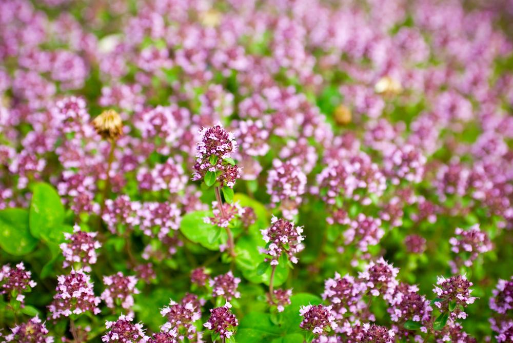 Sweet Marjoram Flowering Garden