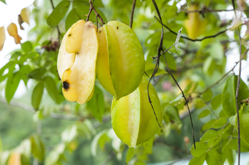 The Fruits of carambola tree
