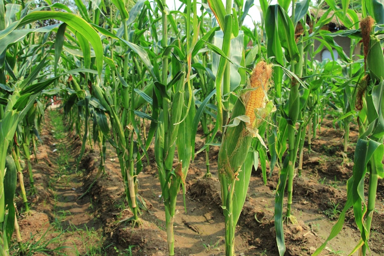 The plant of maize