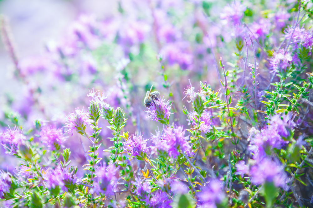 Thyme Herb Garden Flowers