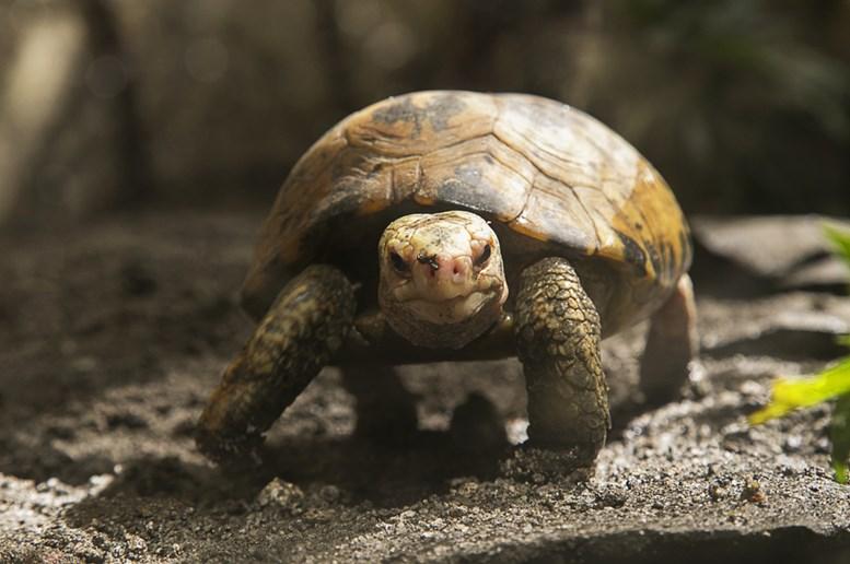 Turtle in Manila zoo, Philippines