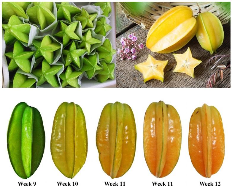 Unripe and ripe Starfruits