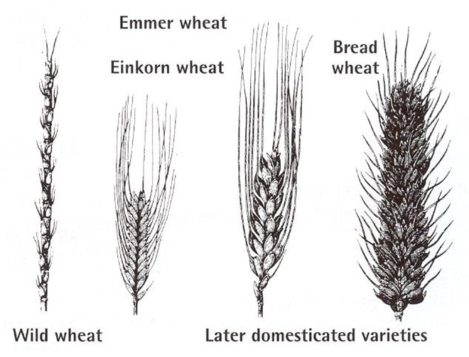 Wild and domesticated wheat varieties.