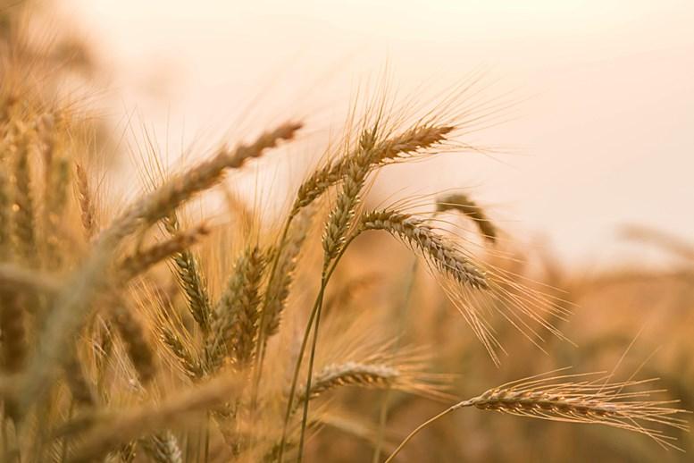 barley plant