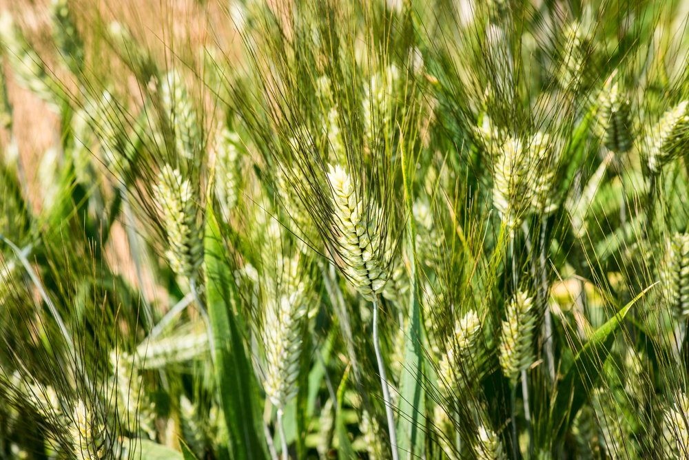 durum wheat - triticum durum - poaceae