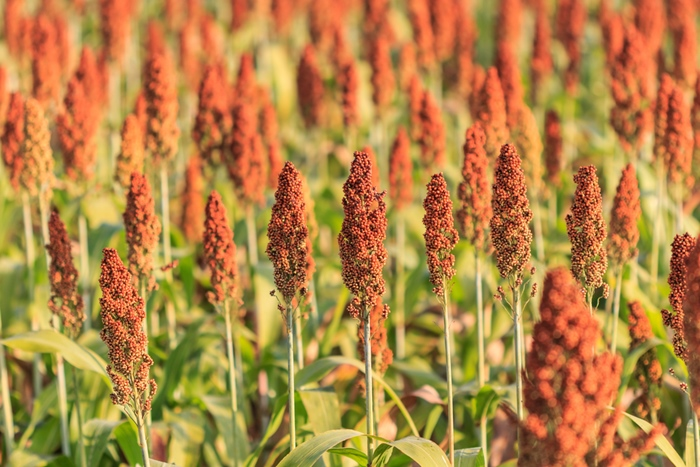 field of sorghum in the morning, Chiang Mai thailand