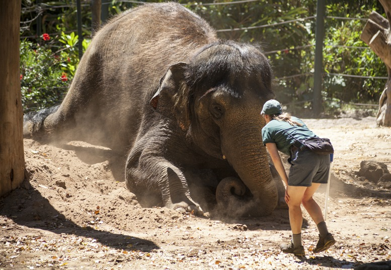 A keeper plays with an Asian elephant during a show for visitors at Perth Zoo in 2013. The elephant, which is 23 years old, is one of three at the Perth Zoo.