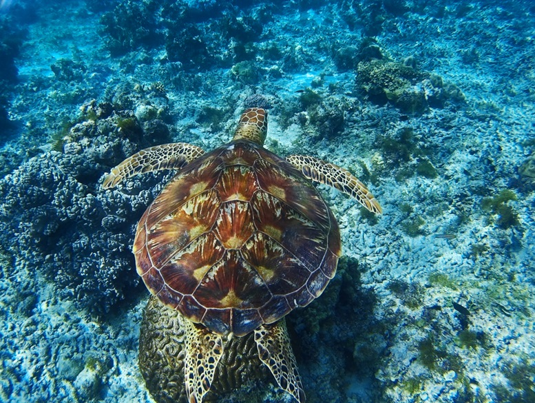 A sea turtle swimming near the coral reef in the waters south of Alona Beach and Panglao island