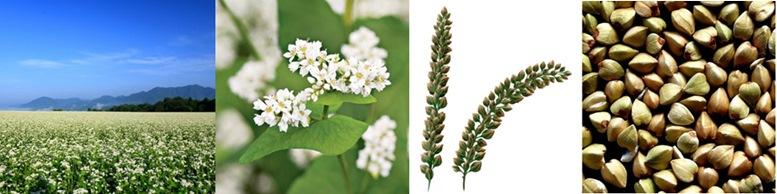 Buckwheat plant, flours and seeds.