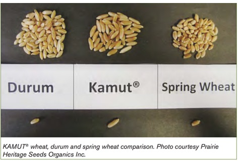 Comparison among durum, Kamut and spring wheat grains.