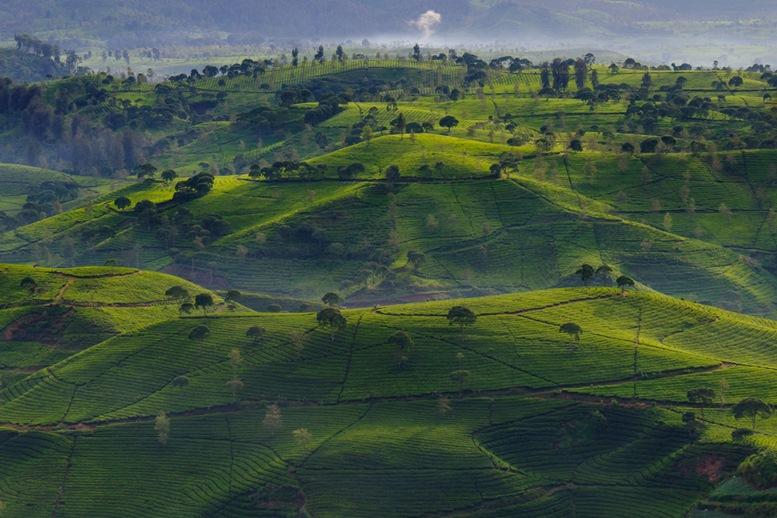 Cukul Tea Plantation