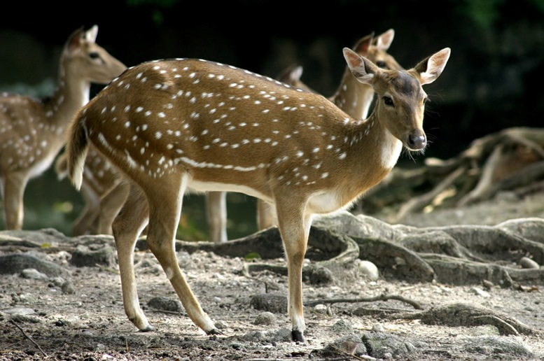 Deer at the Taiping Zoo and Night Safari