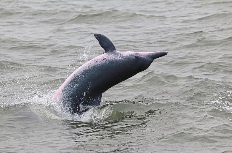 Dolphin at Kuala Sepetang