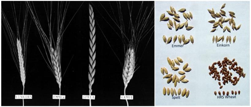Einkorn, emmer, and spelt wheat.
