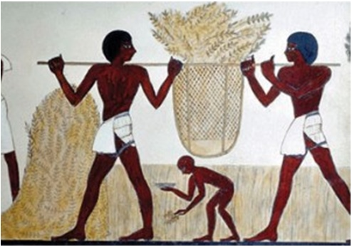 Farro wheat production in ancient Egypt.