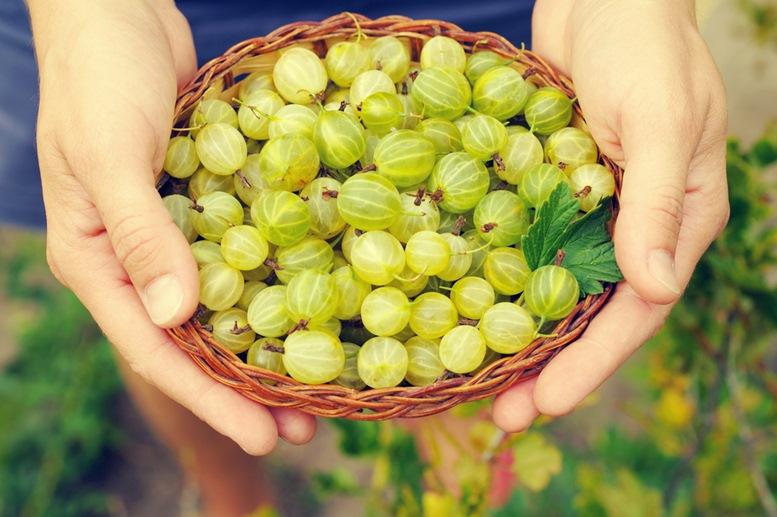 Fresh Organic Goose Berry