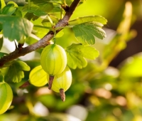 Gooseberry: Health Benefits, Fun Facts, Nutrition Facts, History and Recipes