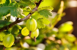Gooseberry Article - Featured Image