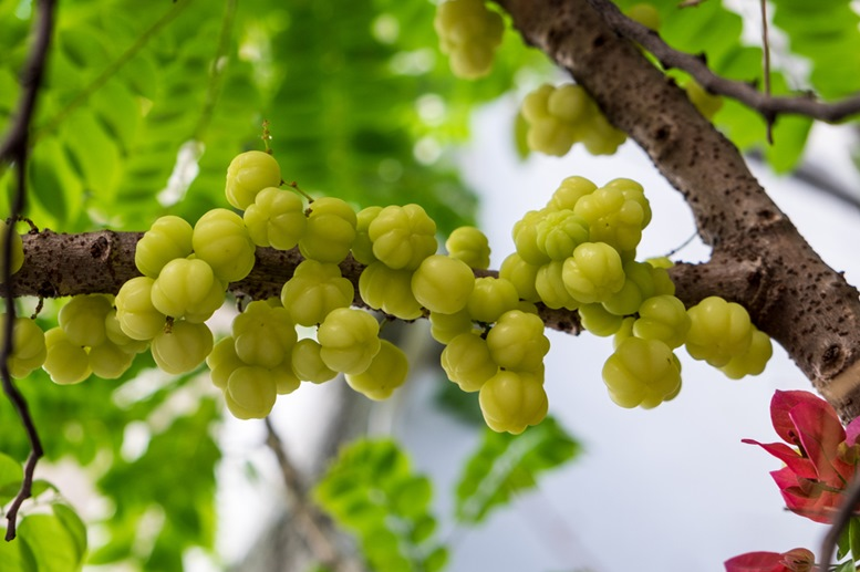 Gooseberry growing on tree