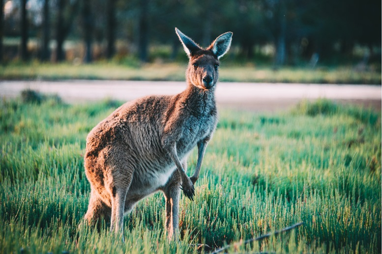 Kangaroos at Heirisson Island in Perth